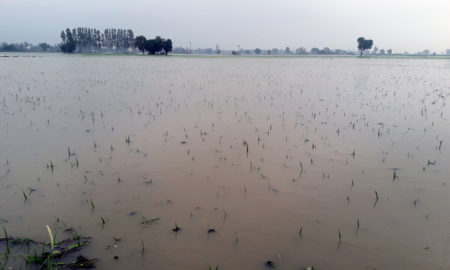 Paddy, Crop, Sinking, Drain, Water, Rain