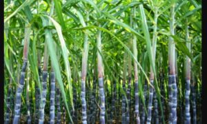 farmer, punjab govt. Increase sugercane price