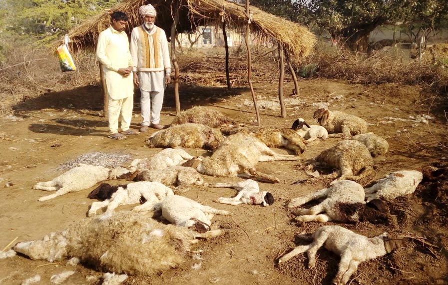 Stray, Dogs, Attacked, Sheeps, Dead