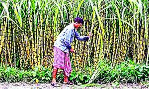 Approval, 8,500 Crore, Relief, Package, Sugarcane, Growers