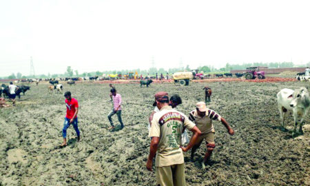 Pulled,Cows, Trapped, Mud, Dera Sacha Suada Volunteers