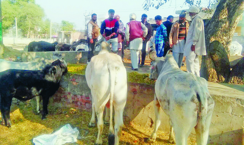 Dera Sacha Sauda, Pilgrims, Care, Underprivileged, Cows