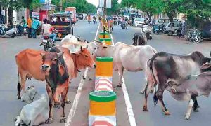Punjabi Cope, Problem, Stray Cattle, Government, Stand, Their Hands