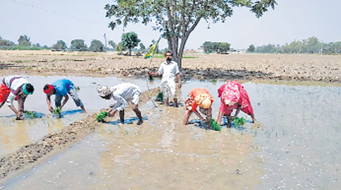 Paddy planted, Farmers, Flag, Kisan Union