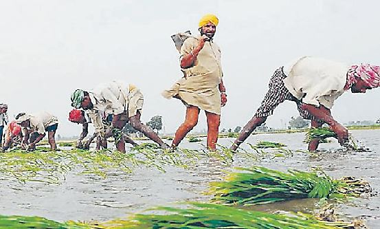 No Punjab Made Rajasthan, No Change, Paddy Sowing Date