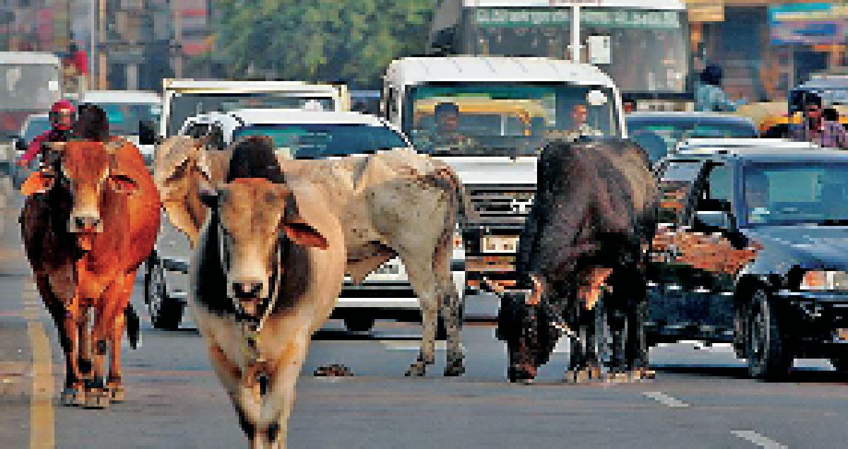 Permanent, Solution, Problem, Stray, Cattle