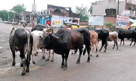 Powercom, Freight, Cows, Stray Cattle