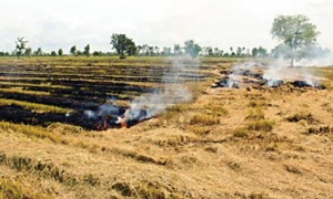 Two hundred ,Acres, District, Sangrur , Planted,  Fire