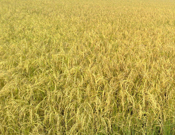108.53 Lakh, Metric, Tonnes, Paddy, Procured, State