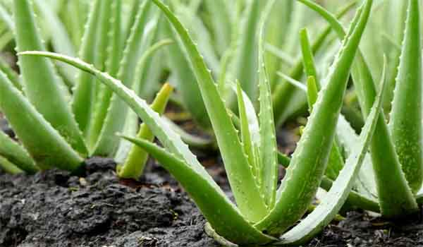 collection of qualities aloe vera
